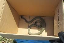 Užovka vylekala ženu, považovala ji za zmiji.
