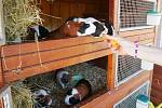 Na ranči u Fryštáku je v chovatelské stanici přes třicet morčat.