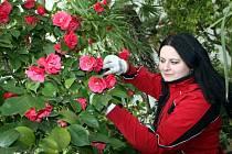 Příprava výstavy Kamélií ve Studeném skleníku v Květné zahradě v Kroměříži.