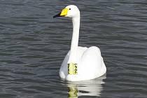 Labuť Zpěvanka je typická svým žlutým zobákem a límcem kolem krku. V současné době se usadila v Chropyni na tamním Zámeckém rybníku.