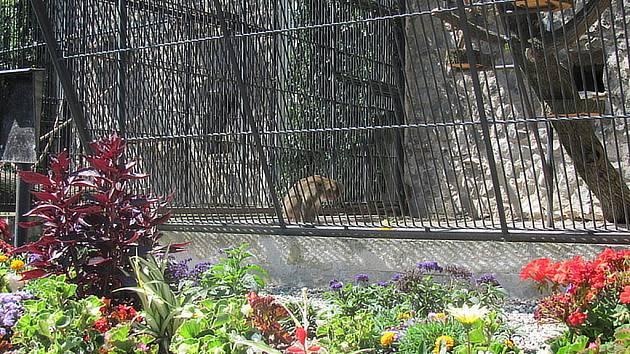 Do Podzámecké zahrady v Kroměříži se po půl roce vrátily zase opice. Radost mají hlavně děti. Místo paviána Bohuše budou návštěvníky bavit Ctirad, Bakat, Krištof a Mikina. V zookoutku je tak stále rušno a živo.