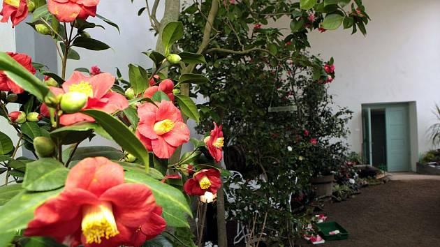 V Palmovém skleníku Květné zahrady je k vidění výstava kamélií.