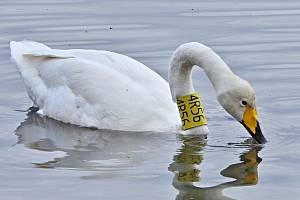 Jediný pár labutí zpěvných, který kdy hnízdil v České republice, se vrátil na Zámecký rybník v Chropyni.