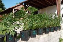 Muž podle policie od dubna letošního roku pěstoval v pronajatém rodinném domě v obci na Kroměřížsku bezmála čtyřicet rostlin konopí o průměrné výšce šedesát centimetrů.