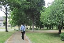 Staré stromy v chropyňském parku na náměstí Svobody brzy nahradí nové.