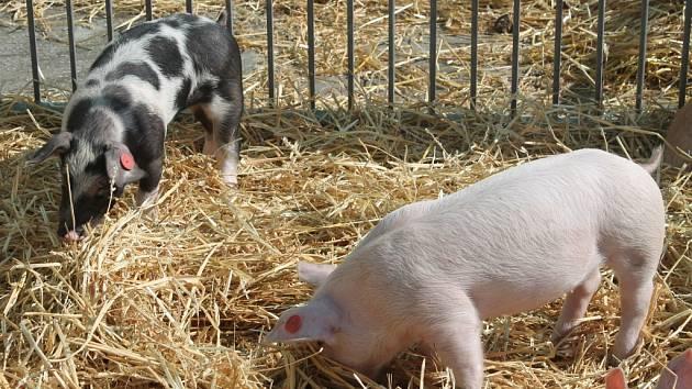 Do Kroměříže se v sobotu sjeli všichni milovníci přírody a zemědělství. Konala se tam totiž v areálu Navosu v Kotojedech už tradiční zemědělská výstava. Návštěvníci si prohlédli zvířata, zemědělské stroje i chovatelské potřeby.
