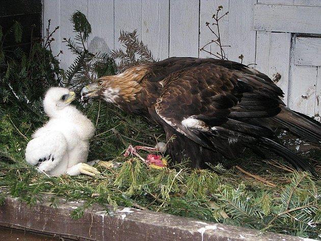 Orlice Dina krmí jedno nz mnoha mláďat, která odchovala.