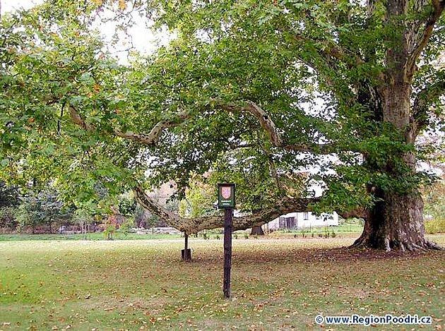 Mohutný platan javorolistý je ozdou zámeckého parku v Bartošovicích.
