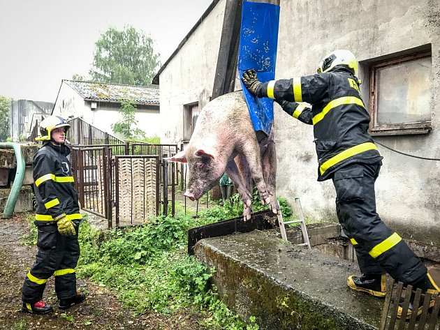 Snímek ze zásahu hasičů při záchraně březí prasnice, která uvízla ve tří metrů hluboké jímce.
