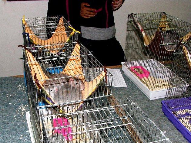 Výstava potkanů, myší a jiných hlodavců se uskutečnila v sobotu 28. května v chovatelském domě v Příboře.