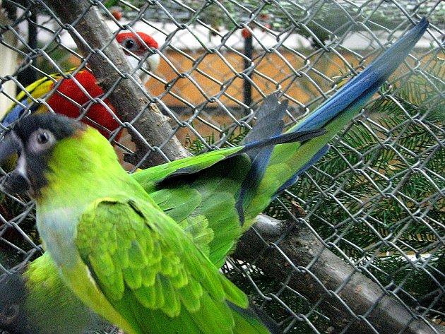 Tradiční výstava exotických papoušků probíhá až do neděle 10. října v Domě chovatelů na Zámeckém náměstí ve Frýdku.