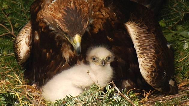 Už třetím rokem pokračuje projekt Návrat orla skalního do Moravskoslezských Beskyd. Letos by měli ochranáři z bartošovické Stanice na záchranu živočichů vypustit do volné přírody tři mladé orly.