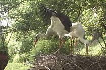V Bartošovicích již několik let žije čáp bílý, který nemůže létat. Letos za ním již podruhé přiletěl jeho druh. Záchranáři čápům pomohli s budováním hnízda. Umístili totiž jeho základnu pouhý jeden metr nad zem, poblíž rybníka ve venkovní části stanice.