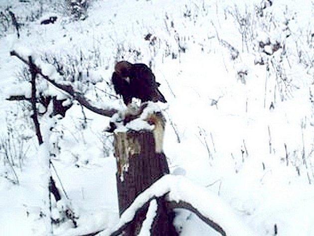 V druhé polovině prosince se podařilo díky fotopasti zachytit samce Davida (na snímku), jak v odpoledních hodinách navštívil krmiště.