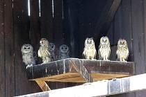Oproti předchozím rokům přijali v Bartošovicích letos mnohem více sov.