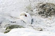 Labuť velká v ledovém sevření na Žermanické přehradě.