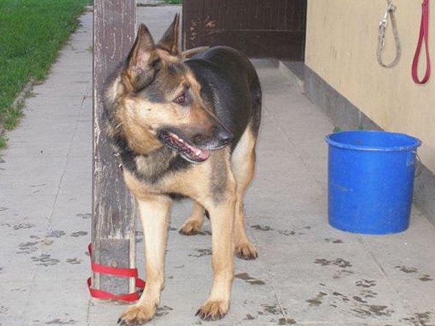 Čistokrevný německý ovčák je jedním z jednadvaceti psů, kteří nyní jsou v útulku v Kopřivnici.