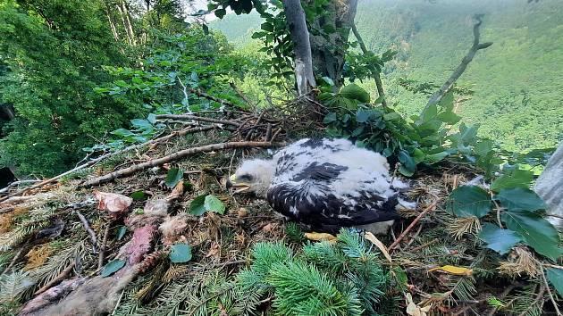 Orlí samice Fanny je nejmladší ze tří orlích mláďat narozených na jaře 2021.