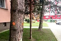 Pokácet se mají i tyto tři stromy v ulici Dvořákova.