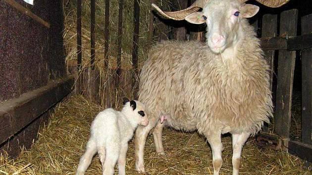 První letošní jehně rohatých valašek se v bartošovické Stanici na záchranu živočichů narodilo už v lednu. Jaro tam proto podle zaměstnanců trvá již více jak dva měsíce.