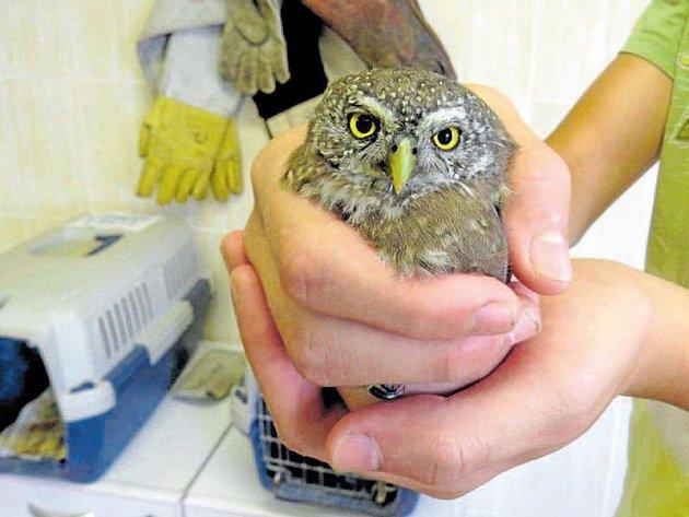 Kulíšek nejmenší je nejdrobnější sovou Evropy, která velikostí jen drobně převyšuje vrabce domácího a od pondělí 7. srpna je v péči pracovníků Záchranné stanice v Bartošovicích na Novojičínsku.