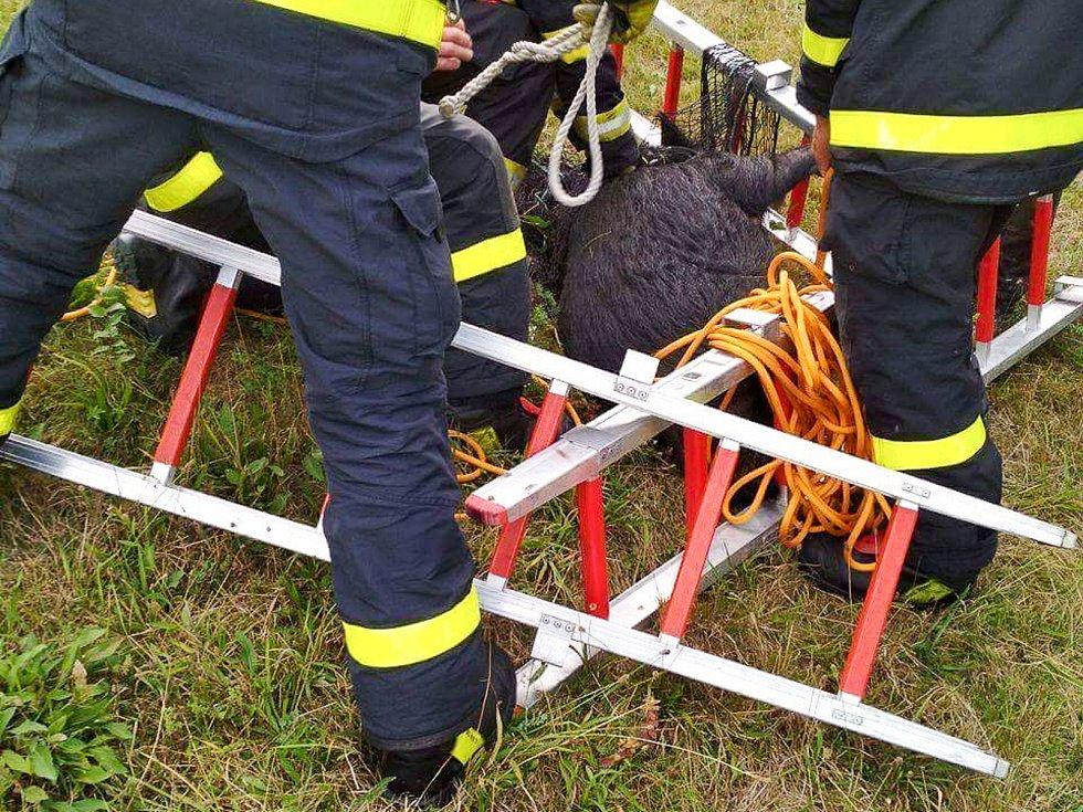Ve středu 6. září chytali hasiči v Odrách na Novojičínsku vietnamské prase.