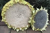 Slunečnicová semínka budou v zimě cennou potravou pro hladové ptáčky.