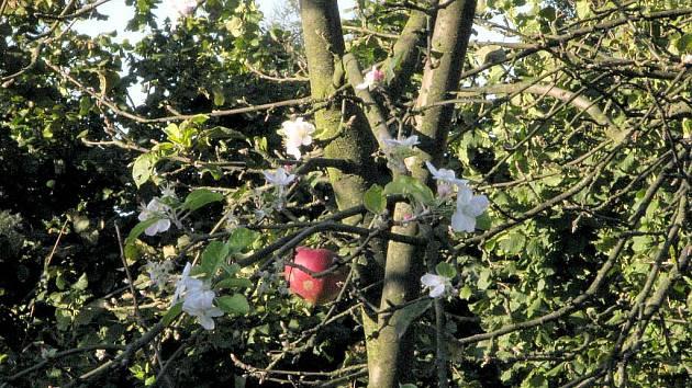 Květy i plody. Rarita, kterou lze vidět v těchto dnech na jedné ze zahrad v obci Sedlnice.
