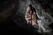 Ve Flascharově dole v Odrách přes zimní měsíce hibernují netopýři.
