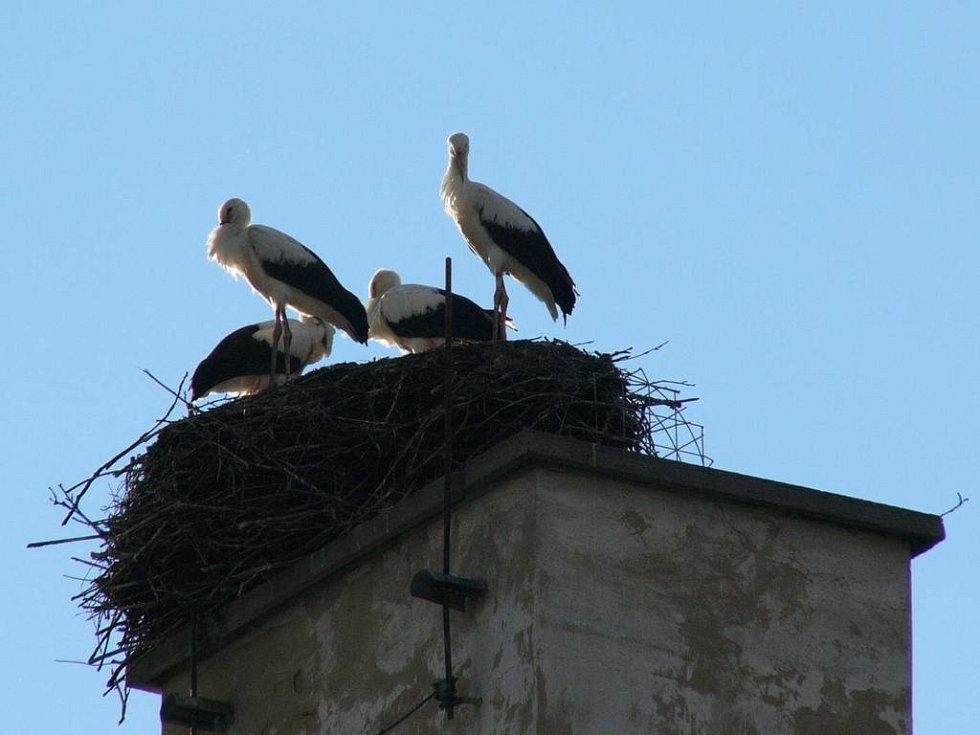 Hned sedm čápů bílých usedá letos do hnízda v Lubině.