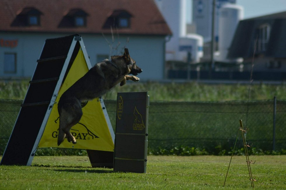 Sportovní kynologie se věnuje právě výcviku pracovních psů. Celé měsíce a léta tréninku a času, který strávili pes se psovodem, lze pak prověřit pomocí zkoušek nebo sportovních závodů.