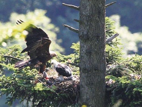Ochránci přírody z bartošovické záchranné stanice už mají jasno v tom, jakého pohlaví je poslední potomek orlího páru Slávky a Libavé, který úspěšně zahnízdil v Oderských vrších. Jde o samičku a od ornitologů dostala jméno Bára.