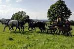 Manželé Haitlovi zahájili v Bernarticích nad Odrou v roce 1994 chov Starokladrubských koní.