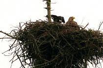 Na území okresu Nový Jičín v letošním roce poprvé zahnízdily dva páry orlů mořských. Jeden již hnízdí úspěšně několik let, druhý pár zahnízdil poprvé.