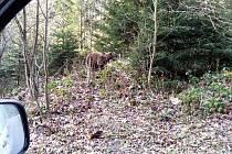 Snímek medvěda nedaleko Pusteven.