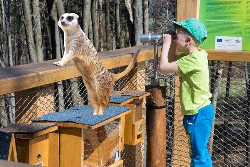 Surikatí máma ze Zoo Zlín zažila parádní víkend na Frenštátsku.