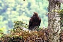 Hnízdo orla skalního s mládětem nebylo v těchto končinách vidět již více než sto let.