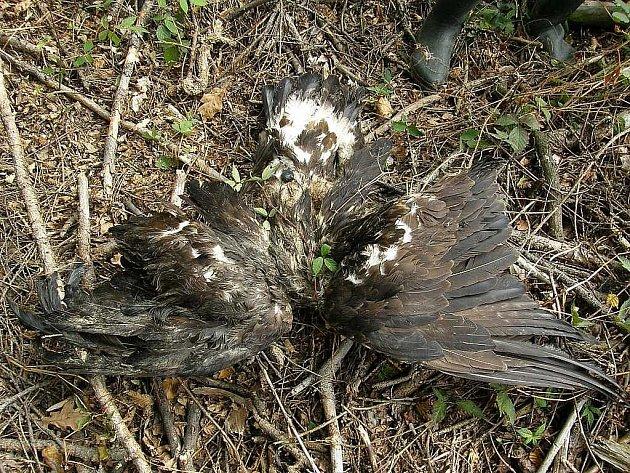 V takovém stavu byla mrtvá orlice Gabča u středočeských Olbramovic nalezena.