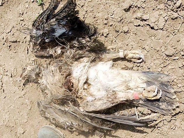 Nalezená mrtvola orla Matouše, který byl do volné přírody vypuštěn teprve vloni na podzim.