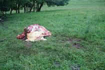 Na jednom z klokočovských polí na Příborsku zloděj zabil i naporcoval krávu přímo na pastvě.