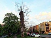 Topol černý, který byl v roce 1980 vyhlášen památným stromem, budou muset Frenštátští skácet. Kmen stromu uhnívá.