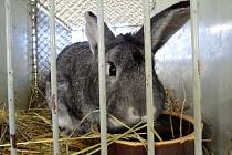 Na 350 králíků nejrůznějších barev a velikostí, asi 200 kusů zakrslé, zdrobnělé a další drůbeže, několik holubů a letos poprvé i morčat, si mohli o uplynulém víkendu prohlédnout návštěvníci, kteří si našli cestu do střediska chovatelů ve Studénce.