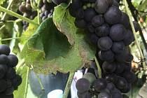 Ve Studénce už dozrávají plody vinné révy.