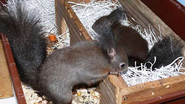 Chip a Dale si nejraději pochutnají na bukvicích.