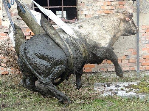 Záchrana býka ve Vrážné