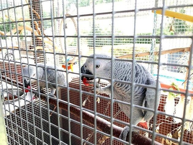 Zatoulaný papoušek Kuba (vpravo) se po krátkém výletu vrátil do klece ke své družce Báře.
