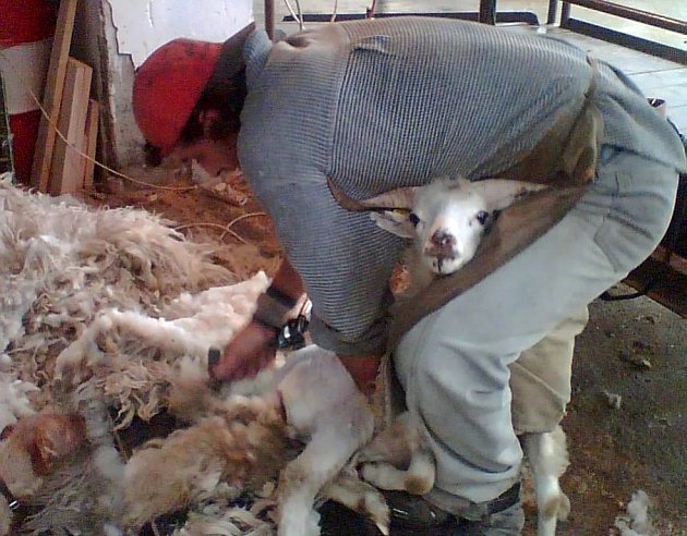 Pro zručného Petra Adamce bylo zbavení vlny na těle jedné ovce doslova otázkou několika minut.
