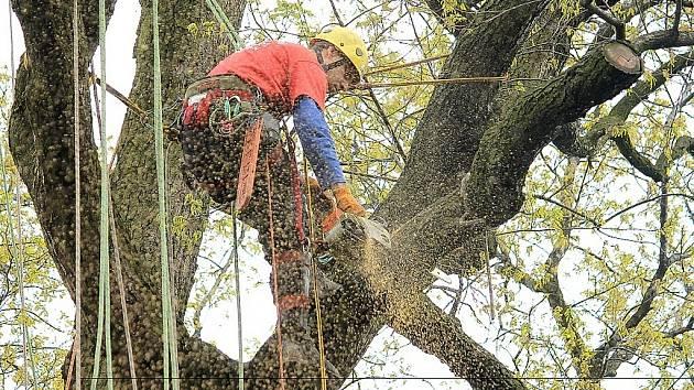Dub letní u chaty rodiny Václavíkových ve starojické místní části Palačov se dočkal tento týden profesionálního ošetření v rámci projektu Zdravé stromy pro zítřek.