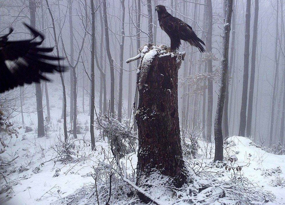 """Díky projektu """"Návrat orla skalního do Moravskoslezských Beskyd"""" je ve volné přírodě v současnosti jedenáct orlů. Realizátoři projektu se teď navíc radují z nového vztahu jedné ze samic."""
