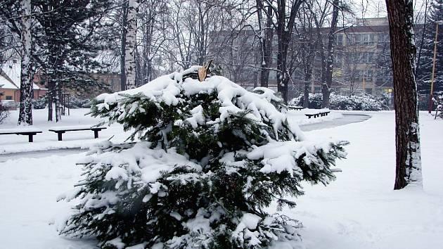 Uřezaná jedle ze Smetanových sadů měla posloužit jako vánoční strom pro chovance novojičínského výchovného ústavu mládeže.